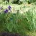 Composition carré des iris - jardin alpin