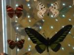 Muséum papillon couleur Anne  (1).JPG