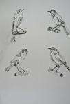 croquis, dessin, dessiner les oiseaux, aquarelle,