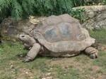 dessin de tortue, tortues des Seychelles