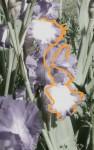 Iris Fil orange .jpg