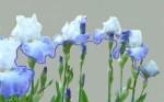 Iris Fil bleu .jpg