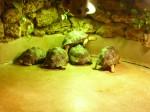 tortues rayonnées - plusieurs- - 08.jpg