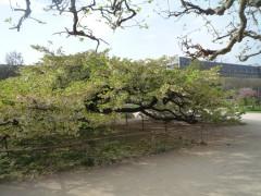 Muséum 14:03:31 arbre de Maud - 1.jpg