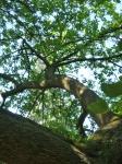 le pistachier, jardin alpin, jardin des plantes, cours de dessin, dessiner la nature,