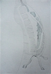 Muséum, galerie de paléontologie, tortue, dessin,