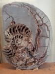 muséum,dessiner,fossiles,paléontologie, d'orbigny