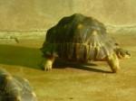 tortue rayonnée - 5.jpg