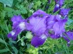 dessiner au jardin des plantes, iris,