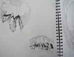 M. Maud plantes dessus:dessous crayons graphite et fusain 13:10:14 .jpg