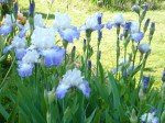 Iris Bleu M. 13:05:27 - 4.jpg